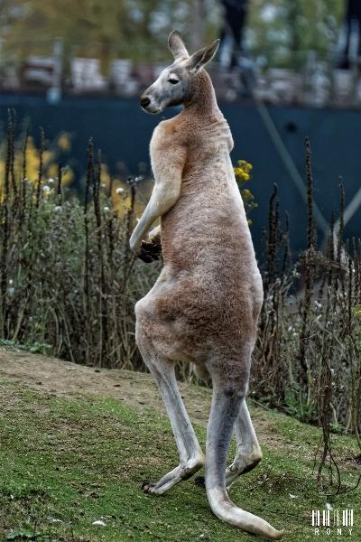 Grand kangourou