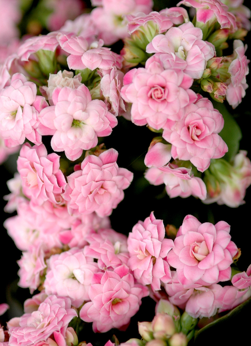 Fleurs cultivées : kalanchoe