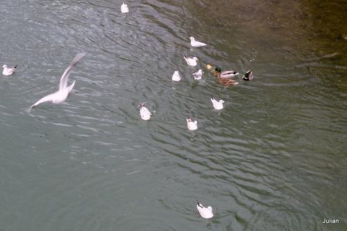 Canards et mouettes