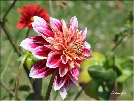 Au jardin, les vedettes de la fin d el'été : les dahlias
