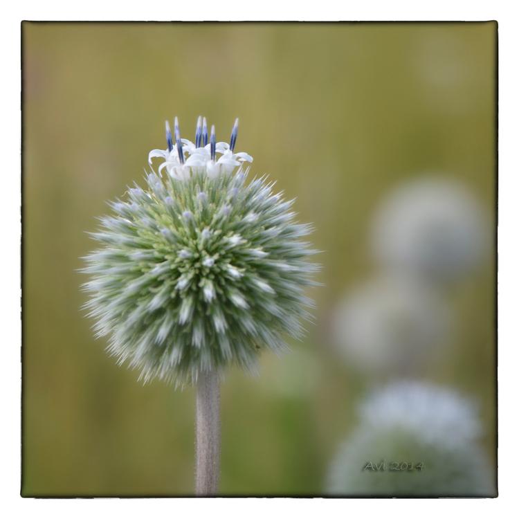 Fleurs d'été : Azurite à tête globuleuse