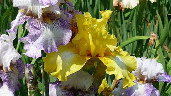 Iris-de-mai-034.JPG