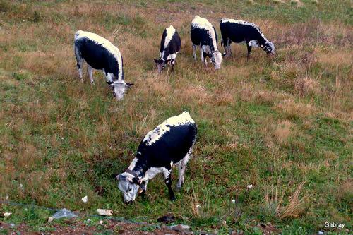 Alsace: des vaches .