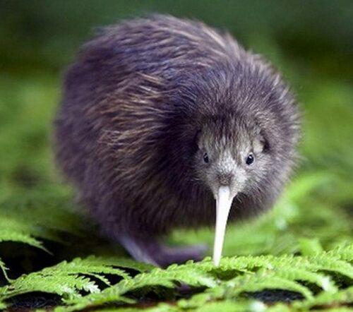 connaisez vous le kiwi .....