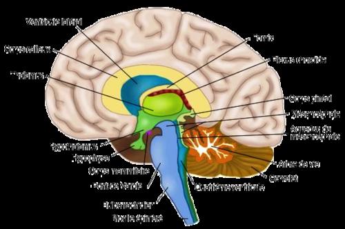 Les médicamants qui rétrécissent le cerveau .