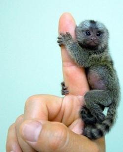 Ouistiti le petit singe