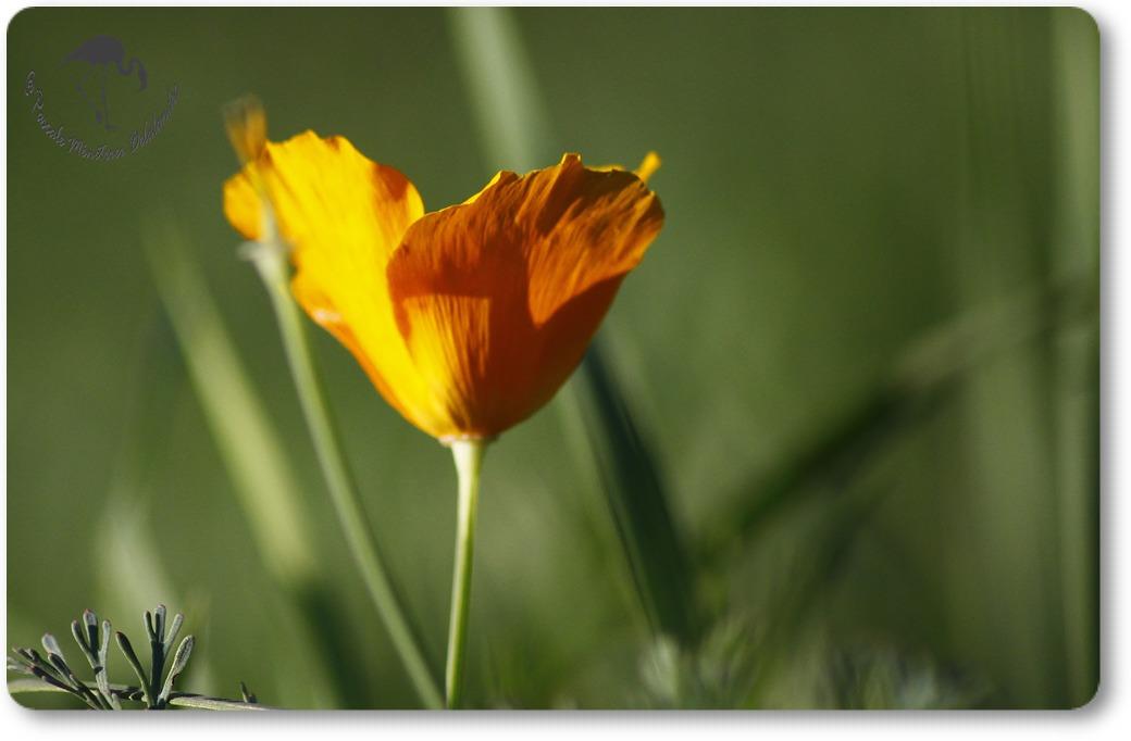 Pavots californiens en nouvelle floraison...