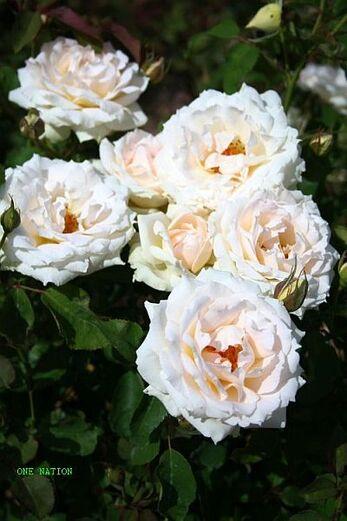 Les Roses de Warren : One Nation