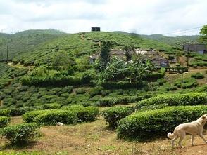plantation de thé à Parumthumpara