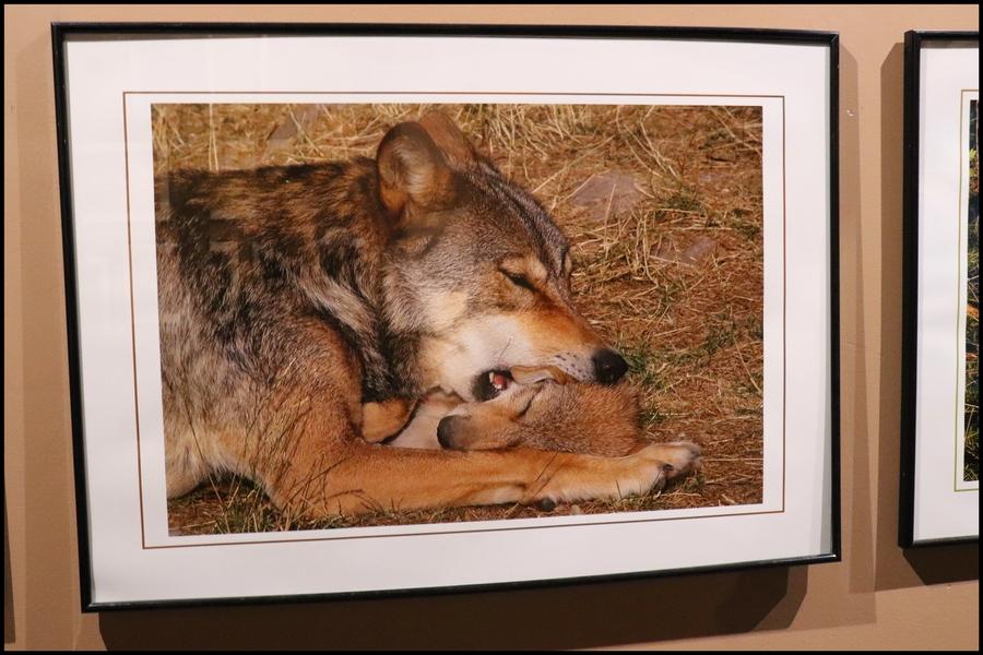 [ O & L ] - Les Loups du Gevaudan (48)