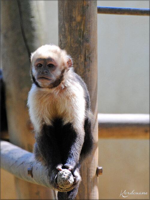 Photo de Capucin à poitrine jaune - Zoo de la Palmyre