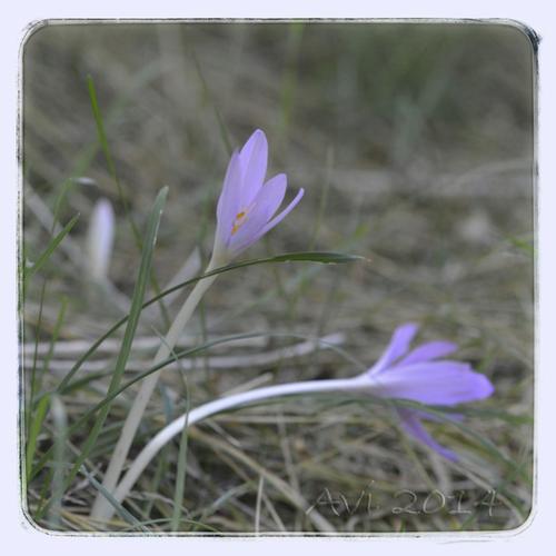 Fleurs d'été : Colchiques