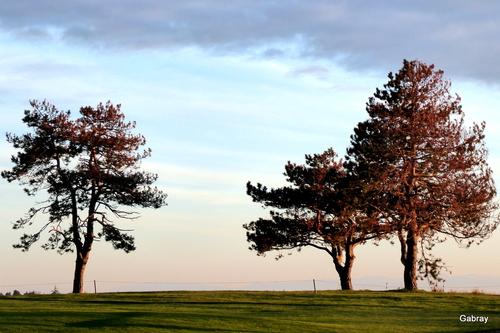 Des pins le soir ...