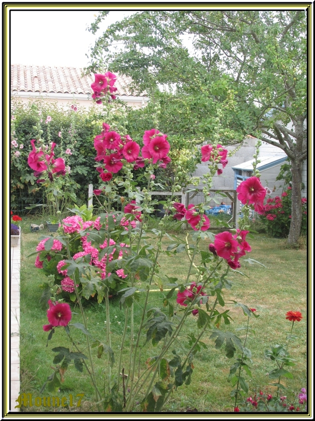Les trémières du jardin
