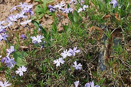 Phlox subulata bleu 2