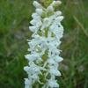 Orchis très odoant b.JPG