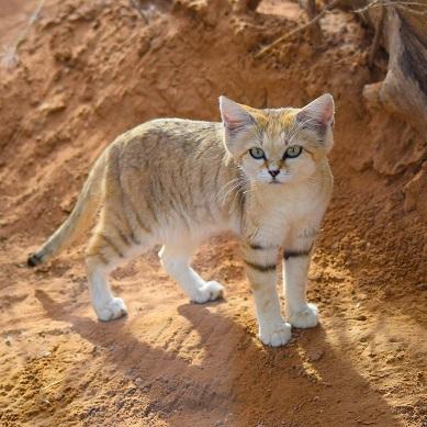 Le chat des sables ...