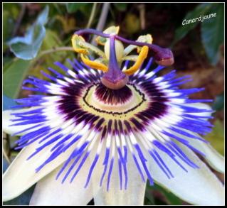 Passiflora caerulea, passiflore bleue