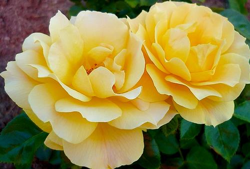 tubes roses, tubes fleurs