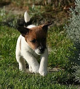chiens-Fox-Terrier-Poil-lisse-a57499ca-a0a5-cb74-6583-24918