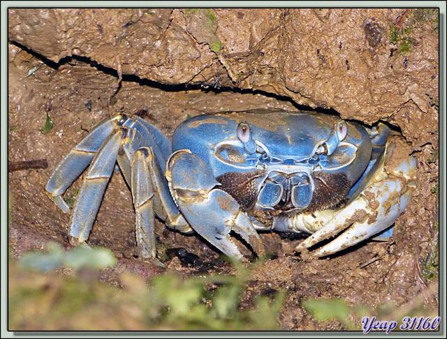 Blog de images-du-pays-des-ours : Images du Pays des Ours (et d'ailleurs ...), Promenade de nuit: crabe terrestre bleu dans son terrier - Puerto Viejo de Talamanca - Costa Rica