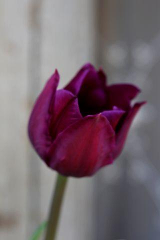 Tulipes 2018 : Negrita