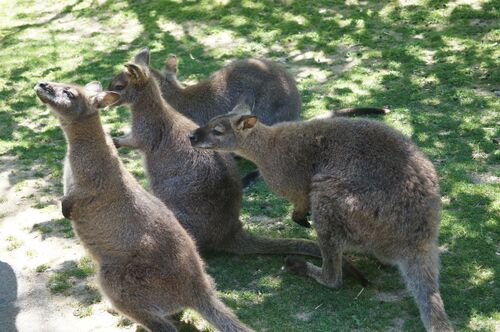 Jardin des kangourous
