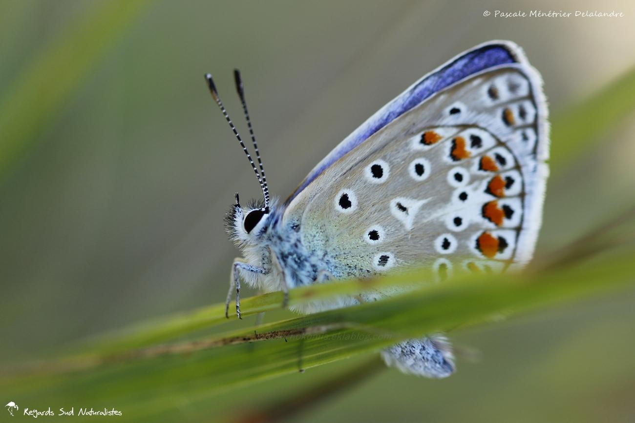 Azuré commun - Polyommatus icarus