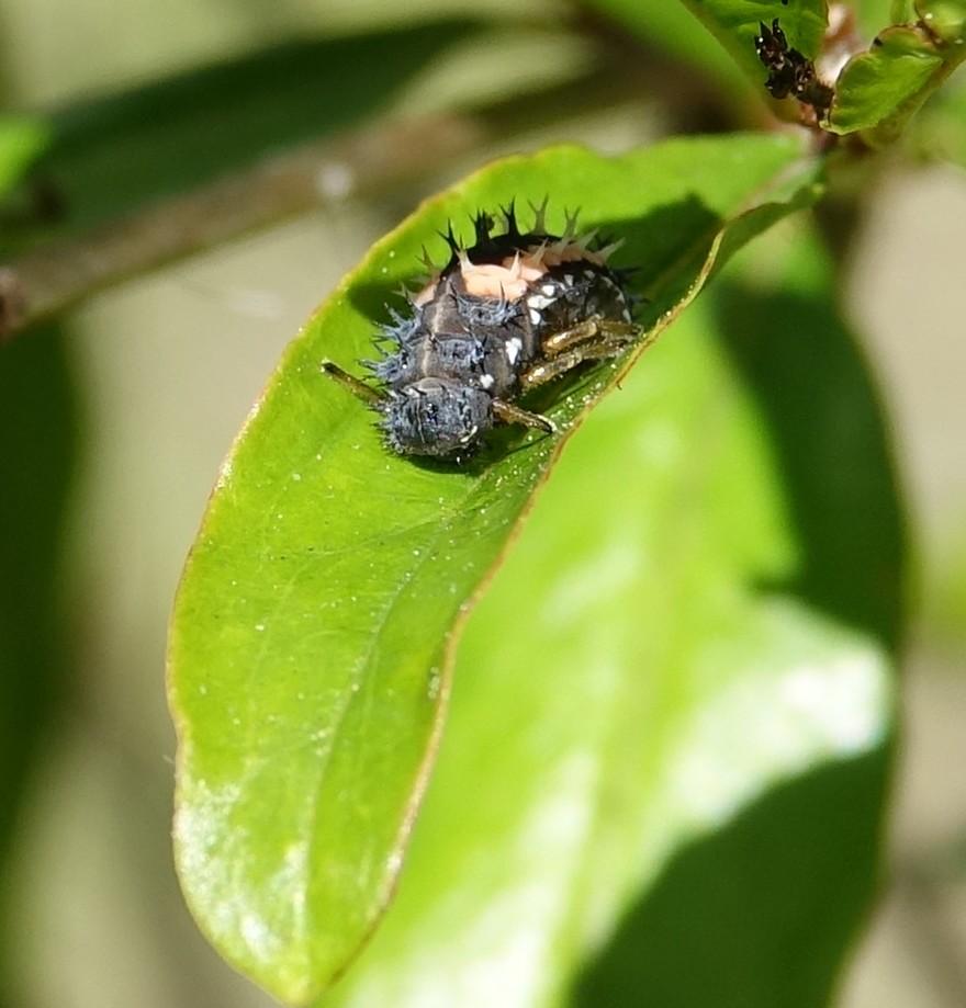 Des larves de coccinelles...