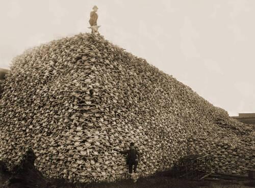 Tas de crânes de bisons en 1870