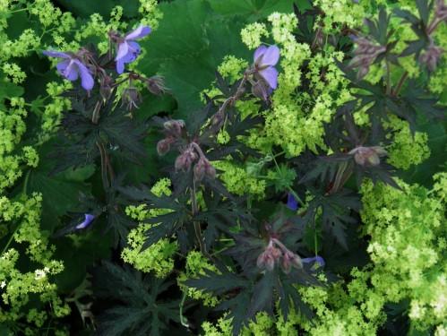 geranium black beauty et alchemille