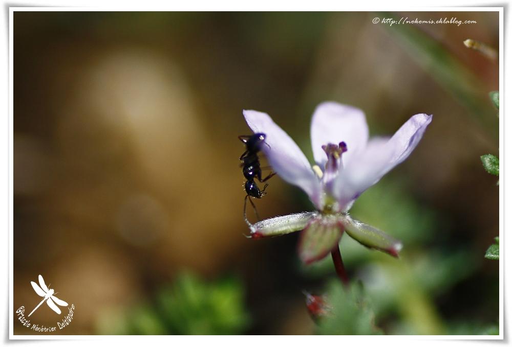 Balade de fourmi