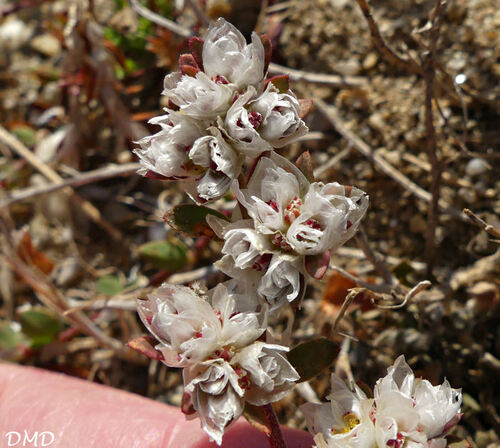 Paronychia argentea  *  paronyque argentée