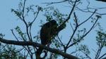 île Ometepe singe hurleur