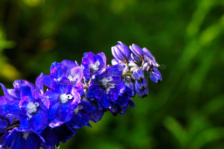 The delphinium flower growing in a summer garden.
