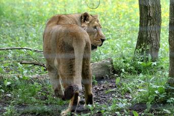 Lion d'Asie (panthera leo persica)
