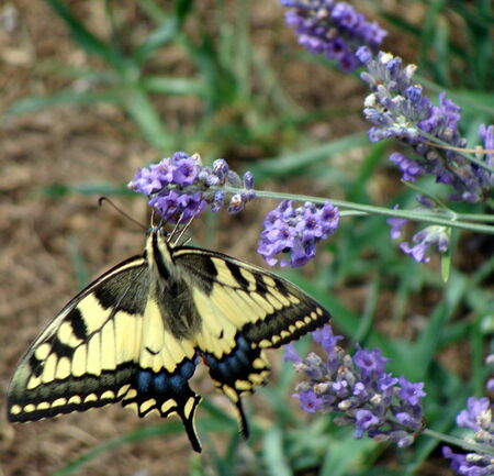 le_Machaon__2_
