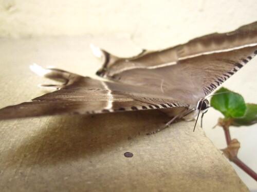 Papillons Vietnamiens