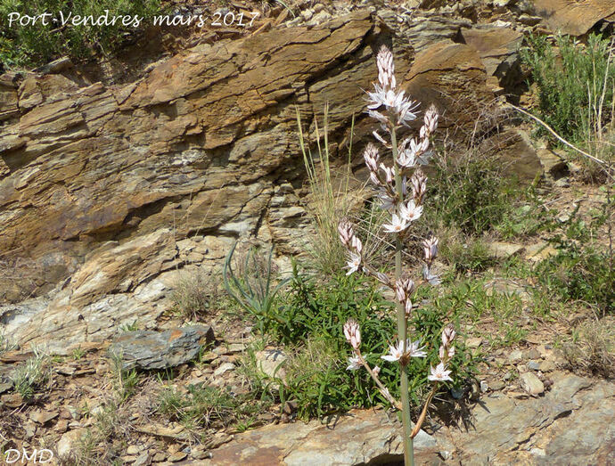 Asphodelus ramosus -  asphodèle ramifié