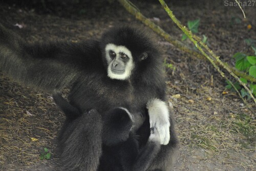 (7) Le gibbon à mains blanches.