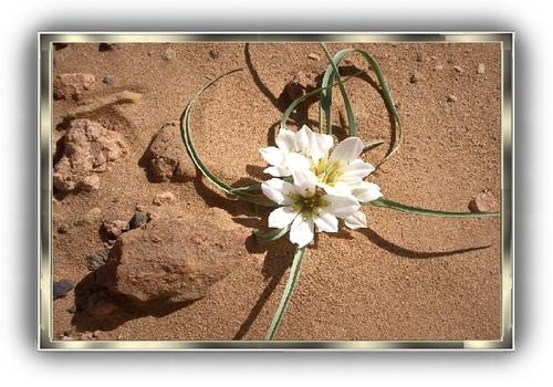 Les fleurs du désert