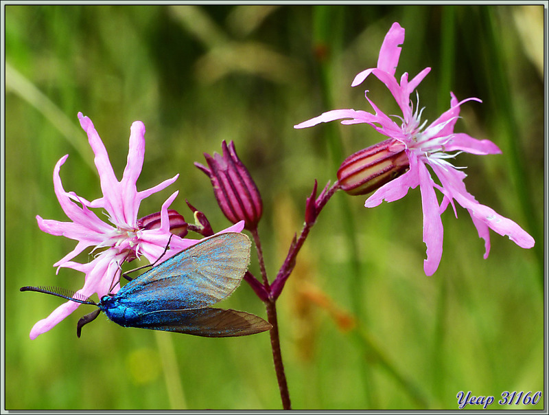 Lychnis fleur de coucou ou Œillet des prés (Silene flos-cuculi) et Papillon Zygène turquoise mâle - Lartigau - Milhas - 31