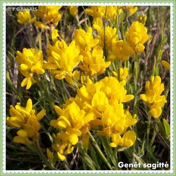 Genêt sagitté-Genista sagittalis