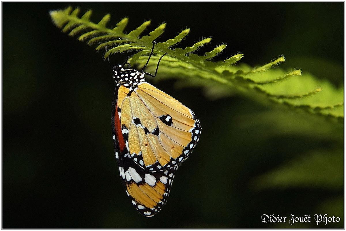 Petit Monarque (2) - Danaus chrysippus