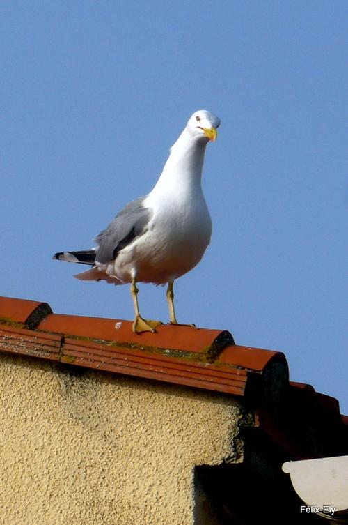 Le goéland sur le toit !