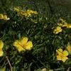 Potentille dorée (Potentilla aurea)