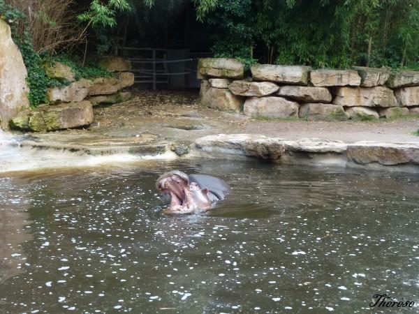 Hippopotames Amneville (15)