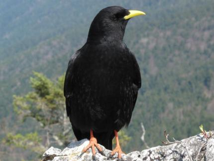 Chocard ou choquard patchou blog for Oiseau noir bec jaune