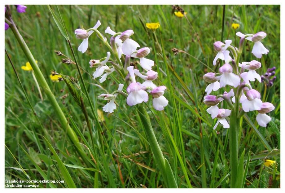 Orchis mâle ou orchidée sauvage