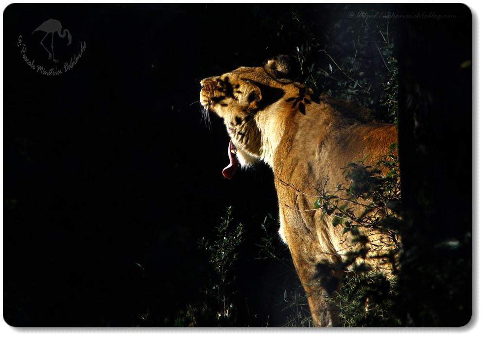 Lionne de l'Atlas... en grosse fatigue et bien cachée dans la végétation...